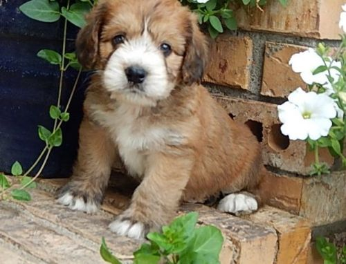 Cockapoo Puppies for sale in Clio Bike Trail, Clio, MI 48420, USA. price 500USD