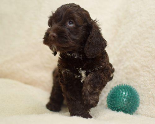 Cockapoo Puppies for sale in Springfield, MA, USA. price 1200USD