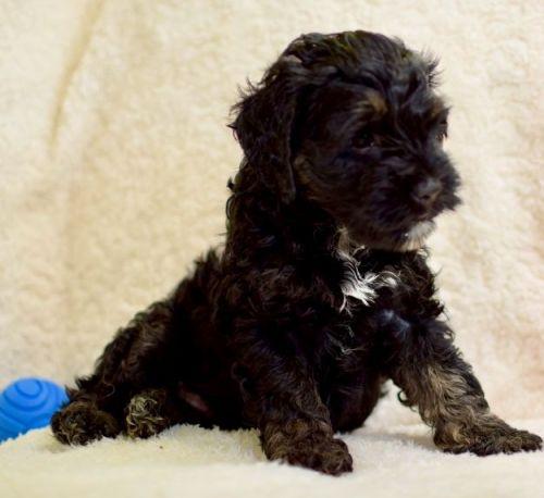 Cockapoo Puppies for sale in Springfield, MA, USA. price 1100USD