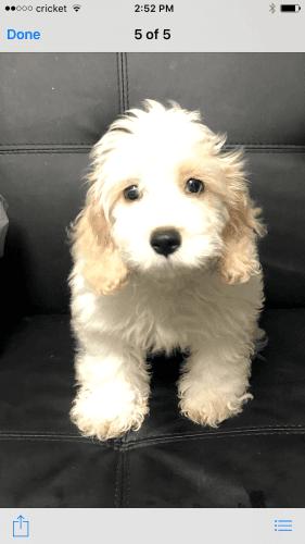 Cockapoo Puppies for sale in Lake City, FL, USA. price 600USD