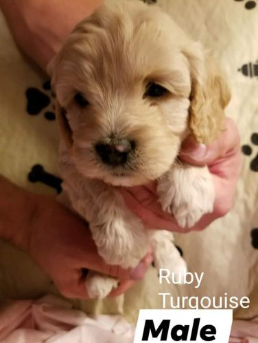 Cockapoo Puppies for sale in Frazee, MN 56544, USA. price 650USD