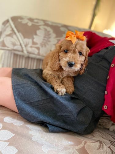 Cockapoo Puppies for sale in 901 W Landstreet Rd, Orlando, FL 32824, USA. price 1USD