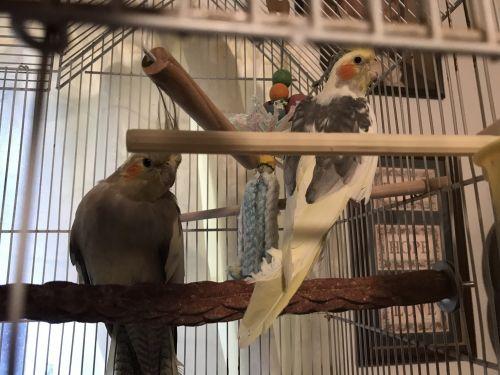 Cockatiel Birds for sale in Advance, MO 63730, USA. price 125USD
