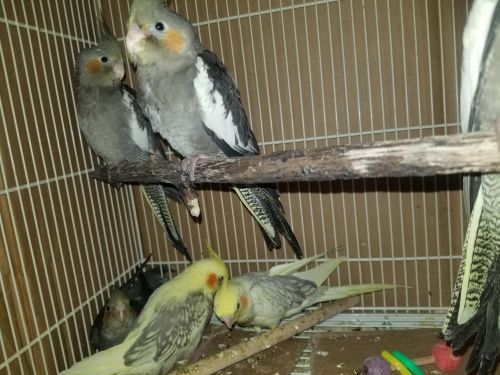Cockatiel Birds for sale in Manchester, IA 52057, USA. price 100USD