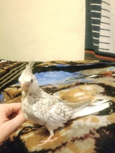 Cockatiel Birds for sale in Manchester, IA 52057, USA. price 200USD