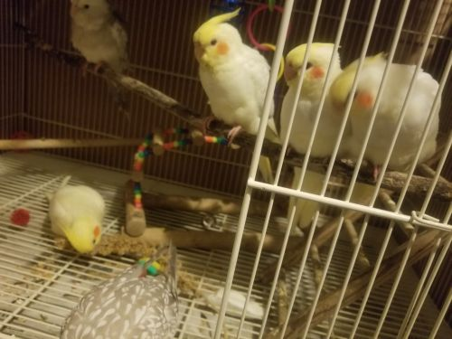 Cockatiel Birds for sale in Manchester, IA 52057, USA. price 150USD