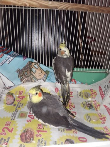 Cockatiel Birds for sale in Waterloo, IA, USA. price 150USD