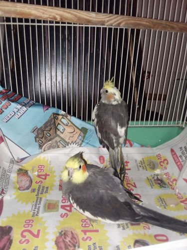 Cockatiel Birds for sale in Waterloo, IA, USA. price 160USD