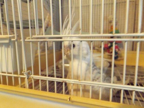Cockatiel Birds for sale in Granville, NY 12832, USA. price 165USD