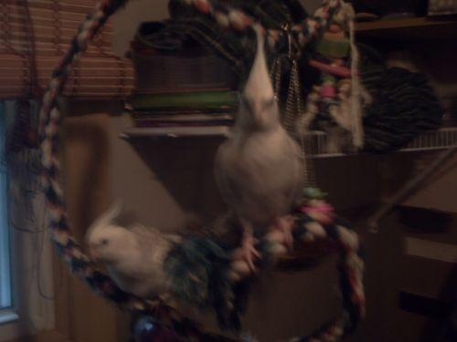 Cockatiel Birds for sale in Granville, NY 12832, USA. price 135USD