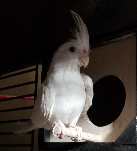 Cockatiel Birds for sale in Rockaway, NJ 07866, USA. price 400USD