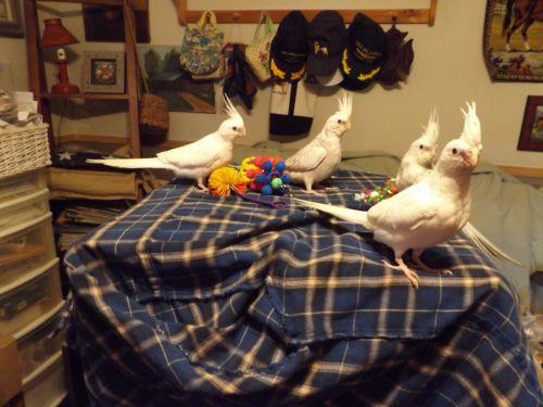 Cockatiel Birds for sale in Granville, NY 12832, USA. price 195USD