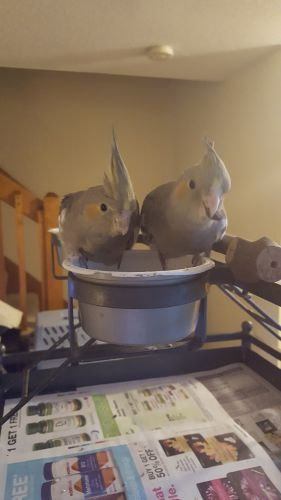 Cockatiel Birds for sale in Londonderry Rd, Londonderry, NH, USA. price 100USD