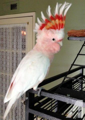 Cockatoo Birds for sale in San Francisco, CA 94105, USA. price 2000USD