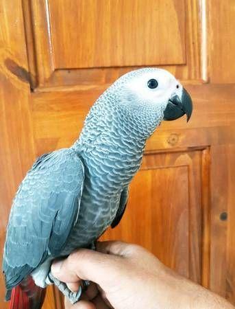 Cockatoo Birds for sale in Dallas, TX, USA. price 500USD
