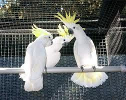 Cockatoo Birds for sale in 4th Ave, Seattle, WA 98101, USA. price 750USD