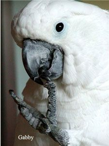 Cockatoo Birds for sale in Dayton, OH, USA. price 750USD