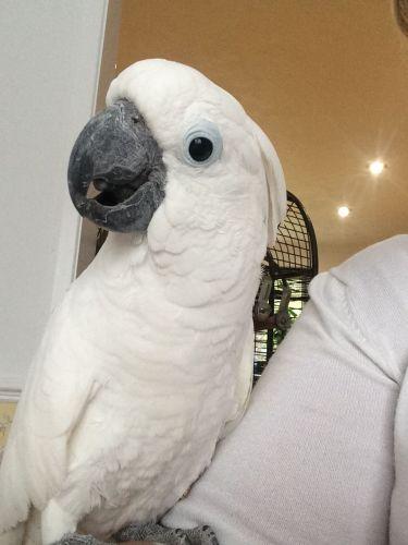 Cockatoo Birds for sale in Dallas County, TX, USA. price 700USD