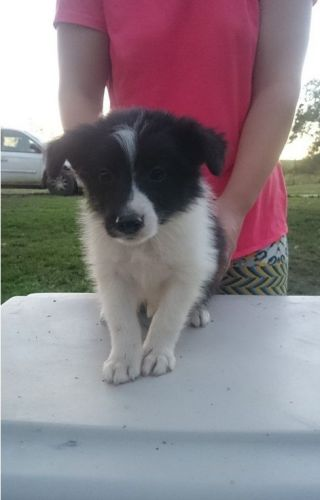 Collie Puppies for sale in Anaheim, CA, USA. price 500USD