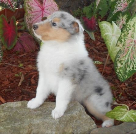 Collie Puppies for sale in Glasgow, KY 42141, USA. price -USD