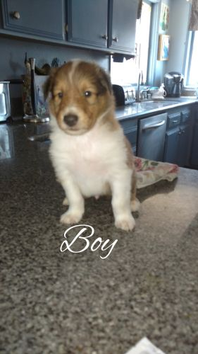 Collie Puppies for sale in Apple Valley, CA, USA. price 700USD