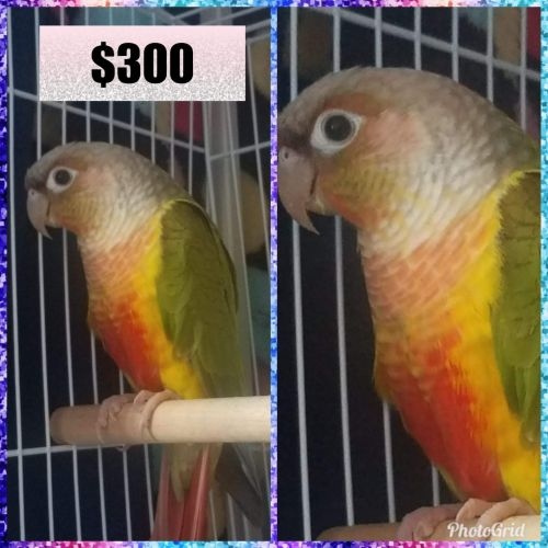 Conure Birds for sale in Bakersfield, CA, USA. price 300USD