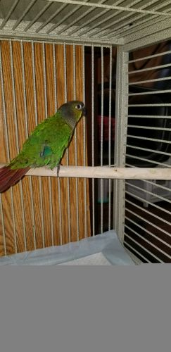 Conure Birds for sale in Ruther Glen, VA 22546, USA. price -USD