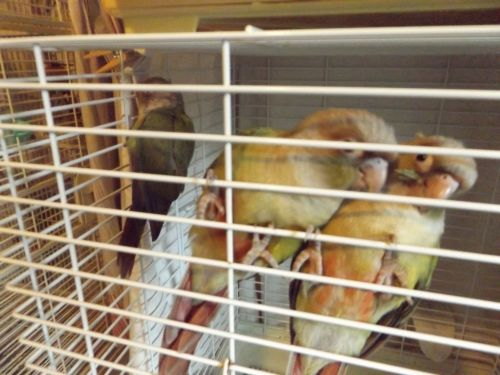 Conure Birds for sale in Granville, NY 12832, USA. price 275USD