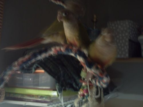 Conure Birds for sale in Granville, NY 12832, USA. price 235USD