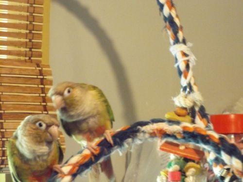 Conure Birds for sale in Granville, NY 12832, USA. price 245USD