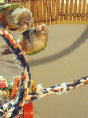 Conure Birds for sale in Granville, NY 12832, USA. price 225USD