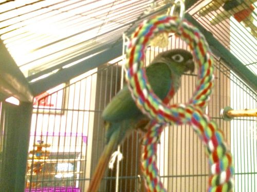 Conure Birds for sale in Stearns Rd, Brookline, MA 02446, USA. price 400USD