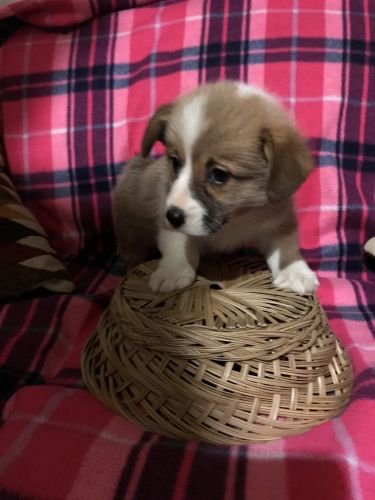 Corgi Puppies for sale in 2969 Hatcher Valley Rd, Cave City, KY 42127, USA. price 800USD