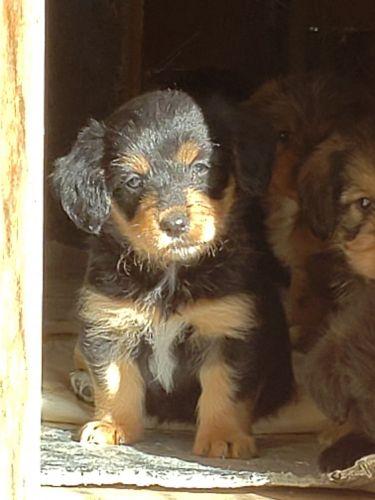 Corgi Puppies for sale in Charlotte, NC, USA. price 1000USD