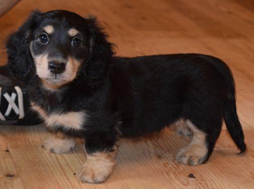 Dachshund Puppies Sale | Racine, WI #3643 | Hoobly US