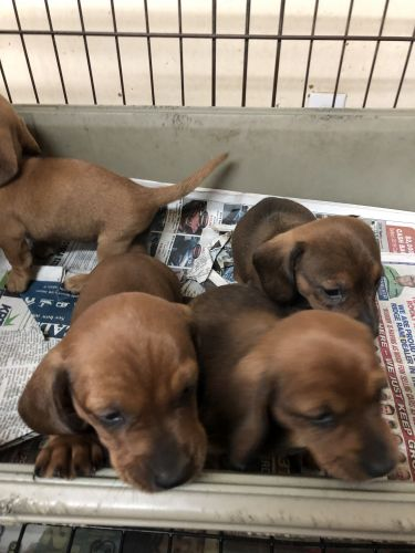 Dachshund Puppies for sale in Charleston, WV, USA. price -USD