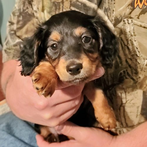 Dachshund Puppies for sale in Cynthiana, KY 41031, USA. price 800USD