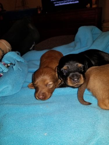 Dachshund Puppies for sale in Batesville, IN 47006, USA. price 500USD