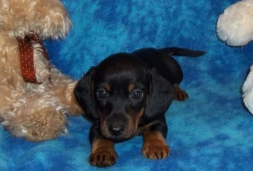 Dachshund Puppies for sale in Colorado Springs, CO, USA. price 500USD
