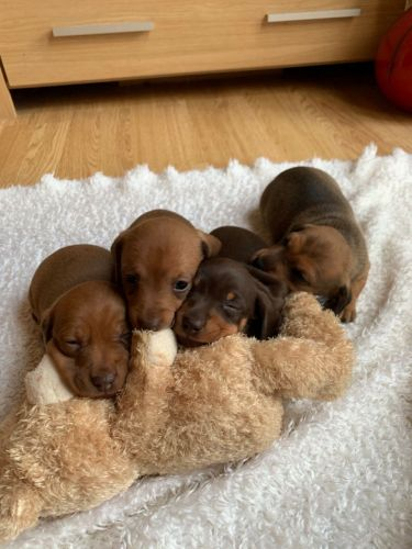 Dachshund Puppies for sale in Las Vegas, NV, USA. price 500USD