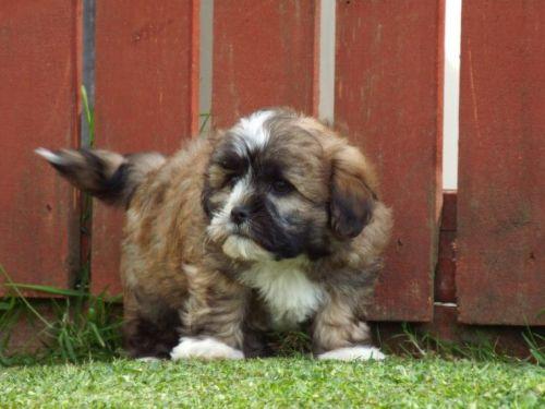 Dalmador Puppies for sale in Jacksonville, FL, USA. price -USD