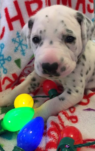 Dalmatian Puppies for sale in Carrollton, GA, USA. price 700USD