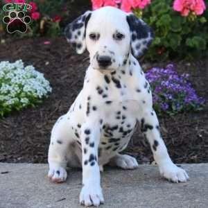 Dalmatian Puppies for sale in Houston, TX 77005, USA. price 570USD