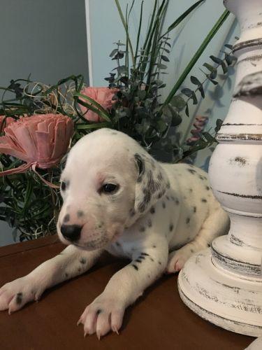 Dalmatian Puppies for sale in Carrollton, GA, USA. price 650USD