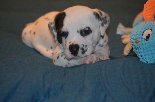 Dalmatian Puppies for sale in Oxford, MS, USA. price 500USD