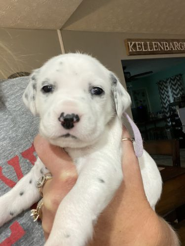 Dalmatian Puppies for sale in Miamisburg, OH, USA. price 800USD