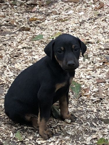 Doberman Pinscher Puppies for sale in Excel, AL, USA. price 600USD