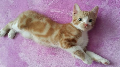 Domestic Shorthaired Cat Cats for sale in Minnetonka, MN 55345, USA. price 250USD
