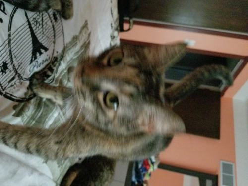 Domestic Shorthaired Cat Cats for sale in New Castle, DE 19720, USA. price 20USD