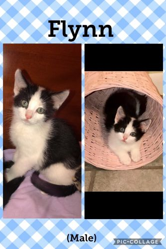 Domestic Shorthaired Cat Cats for sale in Schertz, TX, USA. price -USD